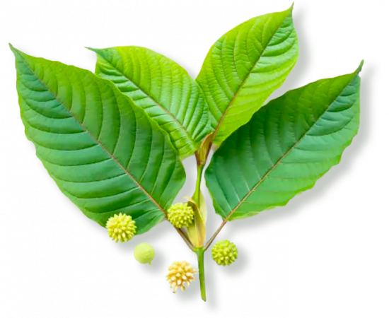 fresh-kratom-leaves